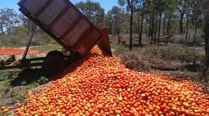 Rejected tomatoes being dumped in a field in Bundaberg, Queensland.