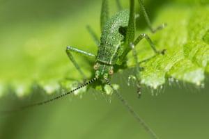 A speckled bush-cricket feeds on a leaf, UK