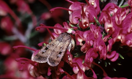 """Scientists think the """"astonishing"""" drop in bogong moth numbers is linked to climate change, with extensive droughts in recent years in locations where the moths breed before migrating to alpine regions."""