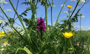 Field of dreams: a wild meadow filled with marsh orchids and buttercups.