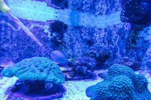 Gavin uses tiny pipettes to feed shrimp to the more than 700 corals -- of 18 species -- living in the saltwater tanks