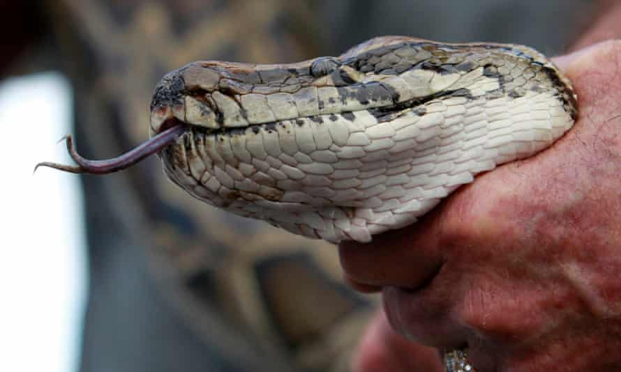 Florida wildlife officials have tried unsuccessfully to reduce or eliminate the up to 150,000 pythons that have made their home in the state after being released as unwanted pets in the 1980s.
