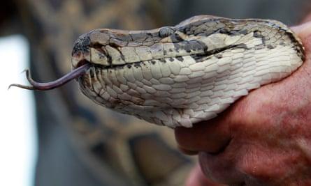 a captured python