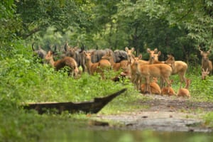 Deer and Buffaloes seen on dry land in Assam, India