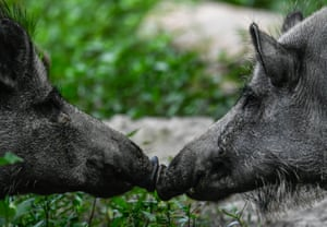 Two wild pigs in theirs corral at the Moritzburg Wildpark near Moritzburg, Germany