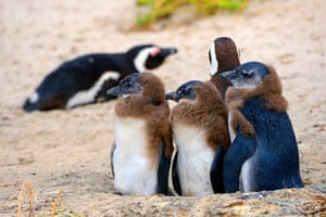 Young penguins at Boulders Beach