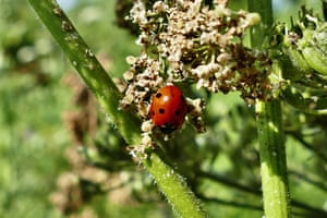 A ladybird rests on a wild flower in the evening sunshine in Dunsden Green, UK