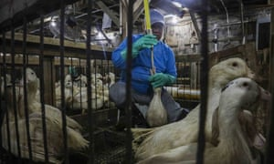 Force-feeding or 'gavage' at a duck farm in New York state.