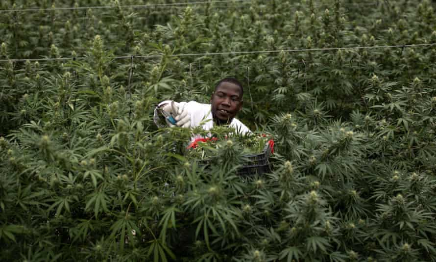A farm worker picks cannabis inside a greenhouse in Uganda – one of several African countries looking to export medical cannabis.