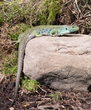 An eyed lizard, which can grow up to a metre in length.