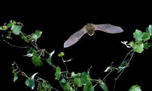 A common pipistrelle bat in flight over a silver birch.