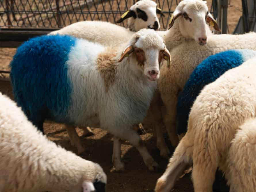 Migration blues … some of the 54 lambs in Africa Blessing by Aboubakar Fofana.