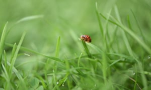 A ladybird on real grass