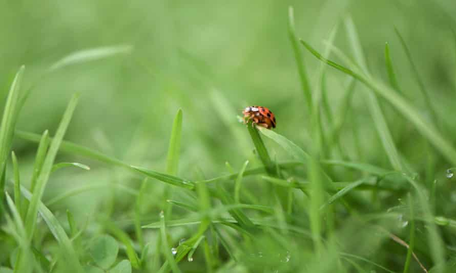 A ladybird on real grass
