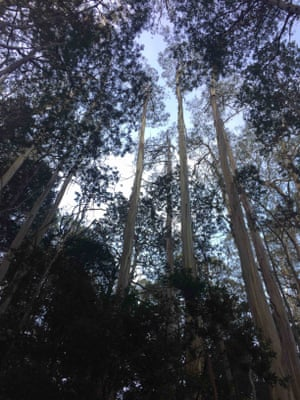 The soaring mountain ash trees of Victoria's Baw Baw National Park