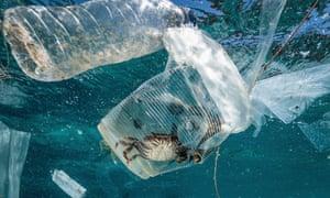 A crab stuck in plastic in Verde Island Passage, Batangas City, Philippines