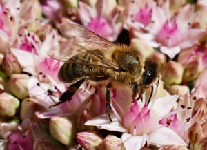A bee collects pollen from the flowers in the sunshine in Oxford, UK