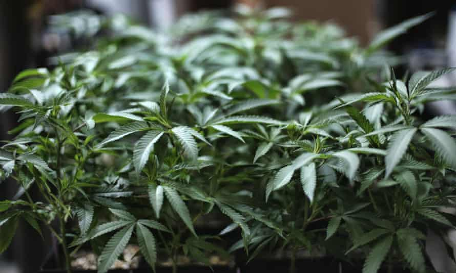 Marijuana grows at an indoor cannabis farm in Gardena, California.