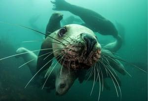 Steller sea lions in Avacha Gulf, Kamchatka, Russia