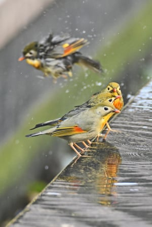 Yichang, China. Red-billed leiothrix take turns to bathe in a pool of water