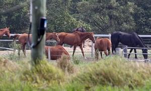 Horses at the Meramist abattoir in Caboolture, Queensland