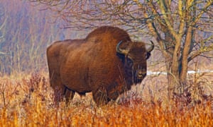 Poland's Białowieża forest is the last home of the European wild bison