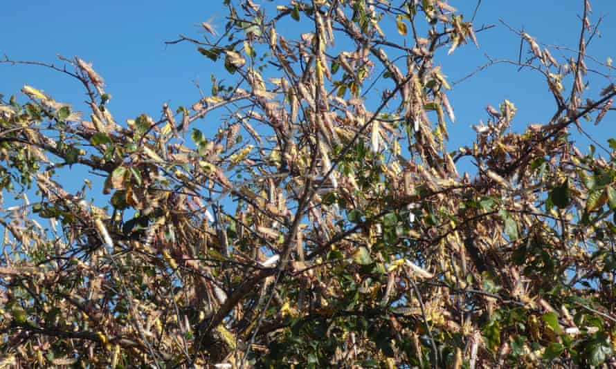Desert locusts in northern Kenya