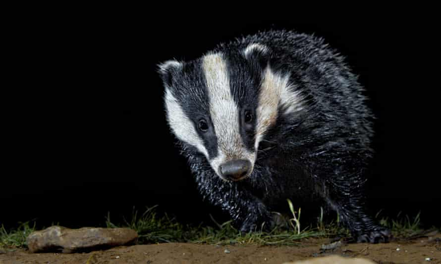 Badgers are one of the many mammals still benefiting from mammal's good night vision.