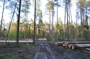 Forest logging in Bialowieza forest
