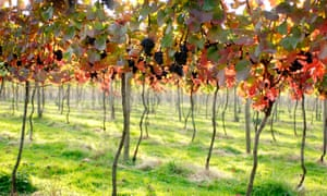 A vineyard with dappled sunlight shining through the red leaves of the vines