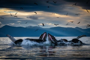 Humpback whales bubble-net feeding off the coast of Alaska