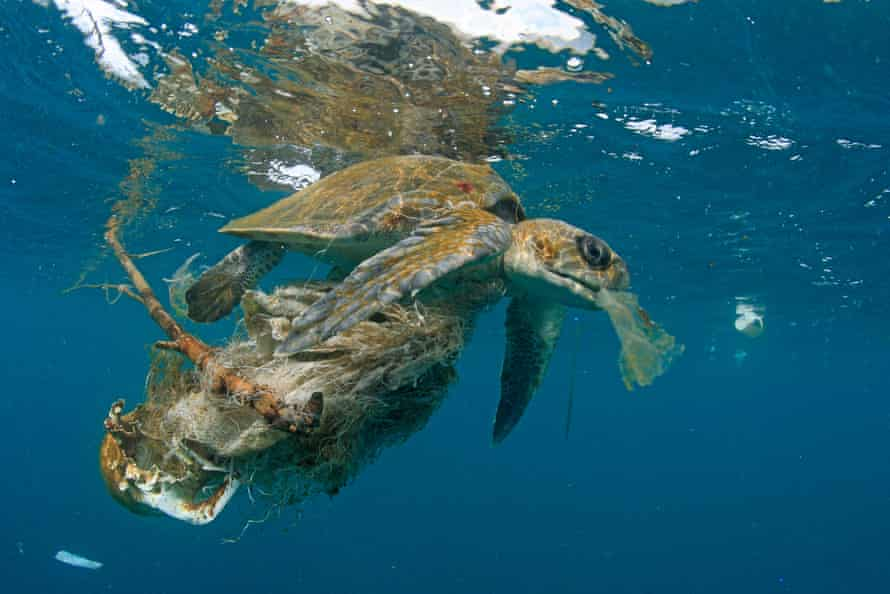 An olive ridley turtle snarled up in plastic waste near Contadora Island in Panama