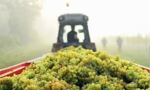 The grape harvest at Chapel Down's Aylesford vineyard in Kent.