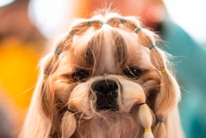 A dog is prepared before participating in the show