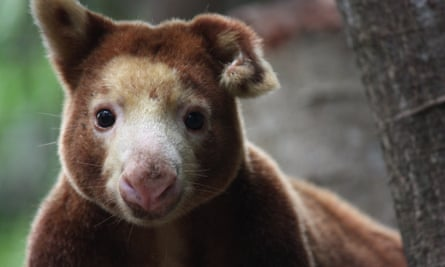 A Matschie's tree-kangaroo at the Port Moresby Nature Park in Papua New Guinea