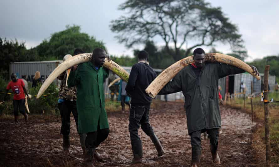 Volunteers carry elephant tusks to a burning site for a historic destruction of illegal ivory and rhino-horn confiscated mostly from poachers in Nairobi's national park.