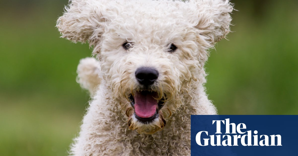 Labradoodle study reveals dogs are actually mostly poodle