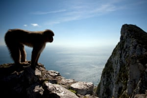 A macaque monkey stands in the heights of Gibraltar