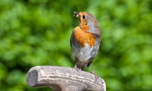 Robin perches on top of a spade handle