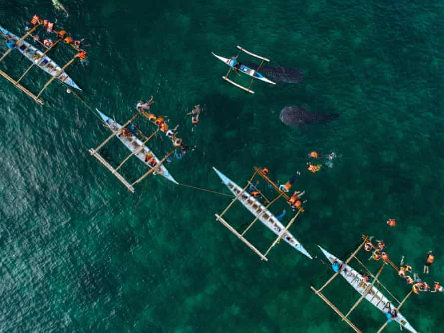 Drone shot of Oslob whale sharks. (Taken under drone permit from the Municipality of Oslob)
