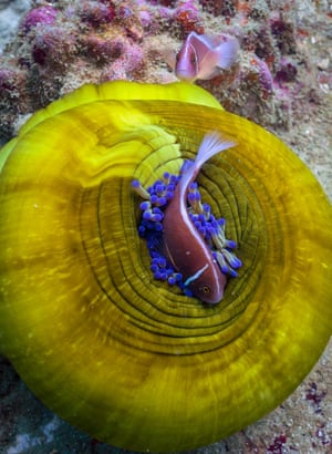 An anemonefish fish at Koh Tao island in the southern Thai province of Surat Thani