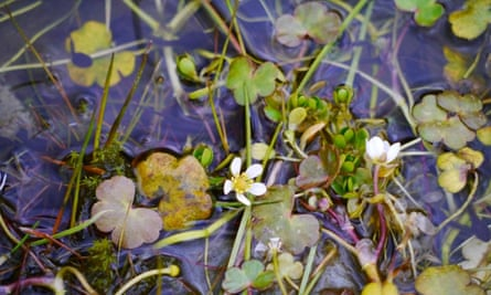 Water crowfoot and tadpoles