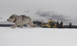 A white wolf released into Isle Royale national park in Michigan.