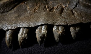 Research led by Museums Victoria found that prehistoric whales had sharp teeth similar to modern terrestrial carnivores.