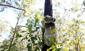 WWF-Australia says the proposal to allow landholders to clear up to 25 metres from their fence line will fragment forests and make it even harder for koalas to get around.