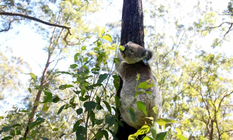 koala holding on to the trunk of a tree
