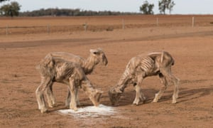 Farmers are battling an extreme drought in New South Wales, Australia.
