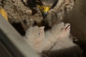 18/05/2015 The first egg hatched 16 May and the last chick fledged on 1 July.
