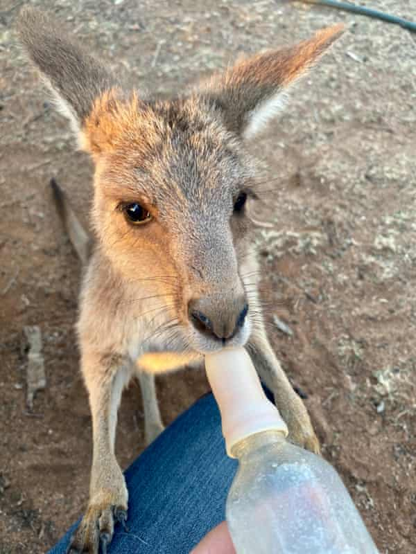 A joey being fed outside Longreach in outback Queensland