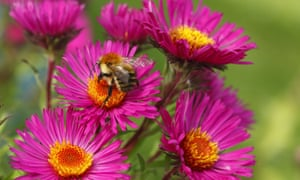 A common carder bee feeding on Michaelmas daisies.